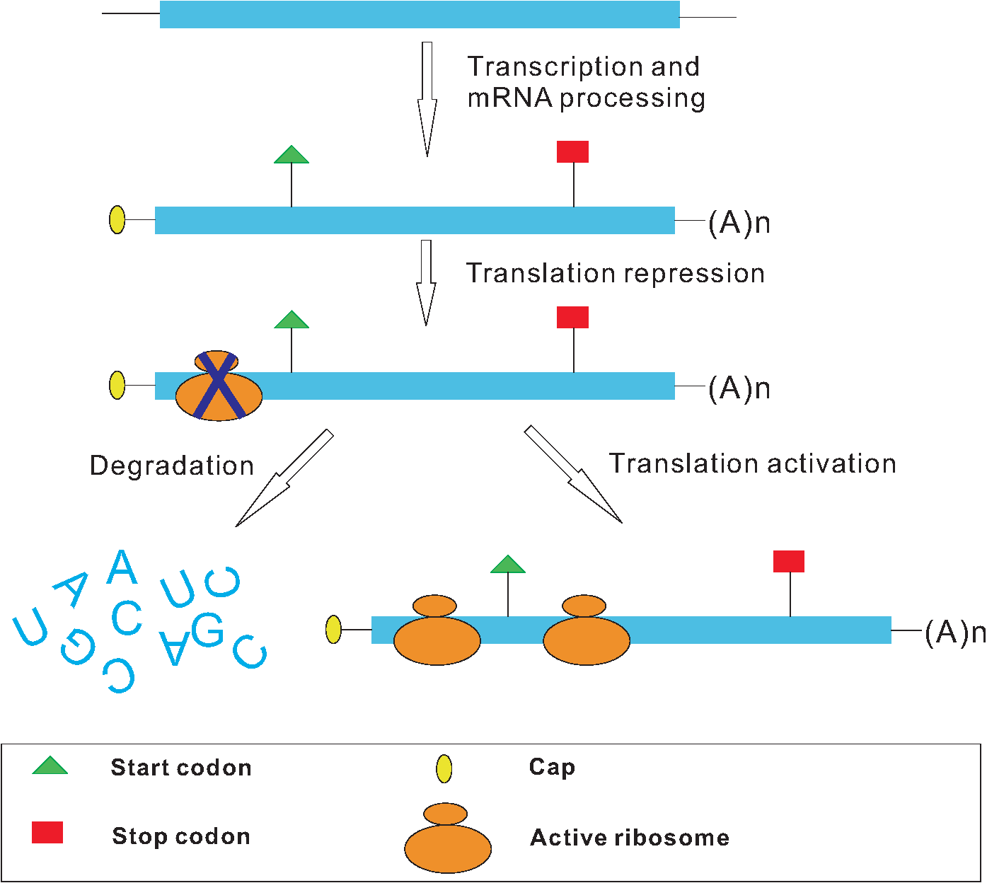 translational repression of NMD targets